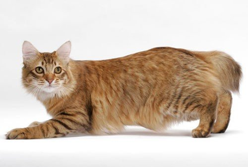 For cat lovers: Here are the best types of domestic cats!